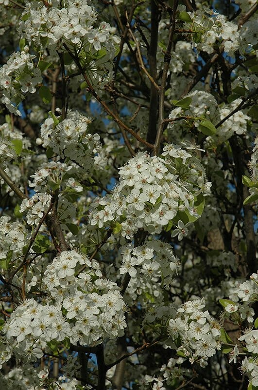 Chanticleer Pear Tree Blossoms