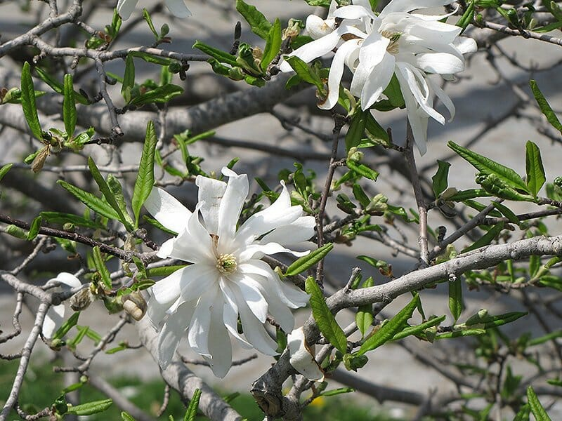 Royal Star Magnolia Blossom